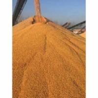 四川蜀窖酿酒公司常年求购玉米高梁小麦碎米大米糯米木薯淀粉