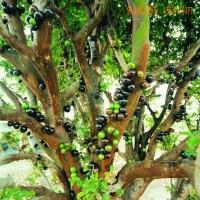 大量供应嘉宝果、树葡萄、嘉宝果树苗