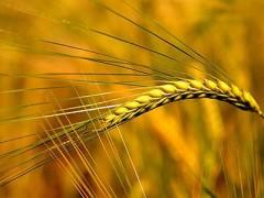 """杂交小麦:中国""""走出去""""的又一名片(图)"""