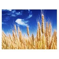 成都蜀窖酿酒公司长期现款求购玉米小麦高粱碎米糯米木薯淀粉等