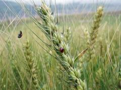 小麦开启新一轮上行 有望触顶阶段高点(图)