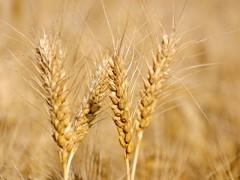 2018年主产区夏粮和早籼稻收购进度(图)