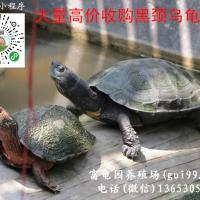 高价收购黑颈乌龟