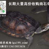 长期收购越南种石金钱龟