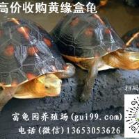 长期收购黄缘盒龟