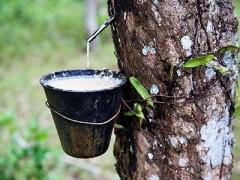 广西农药帮助缅甸橡胶增效增产