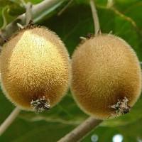 猕猴桃之乡——周至猕猴桃产地直销 可零售 可批发
