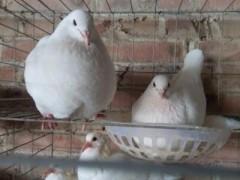 """新疆尉犁:肉鸽养殖让农民插上致富""""翅膀""""(图)"""