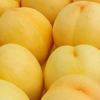 桃樹新品種_新品種桃樹苗_黃桃苗_山東黃桃樹苗