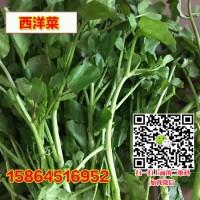 豆瓣菜种子 西洋菜种子豆瓣菜栽培 豆瓣菜种植