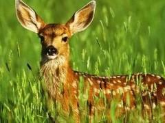 吉林:一个养鹿人的18年(图)
