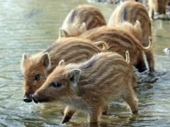 贵州长顺:返乡农民工养野猪(图)