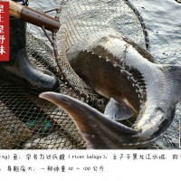 黑龙江鲟鳇鱼批发价格,黑龙江鲟鳇鱼多少钱一斤