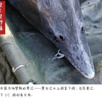 鲟鳇鱼和中华鲟的区别,鲟龙鱼与鲟鳇鱼的区别