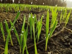 阴雨天气增多 利于冬小麦生长(图)