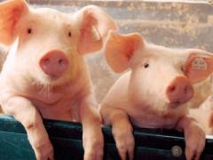 国内又发三起非洲猪瘟疫情(图)