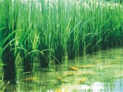 化肥农药减半 稻鱼共养喜增收(图)