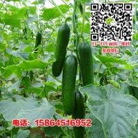 无刺水果黄瓜种子 绿色黄瓜 蔬菜种子