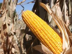 2018年中国玉米产量同比仅减少0.67%(图)