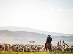 宁夏固原农民赶着牛羊奔小康(图)
