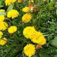 蒲公英種子 婆婆丁種植批發 野菜種子