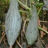 貴族南瓜種子