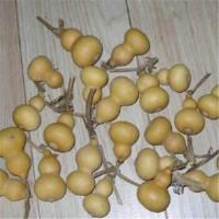 手捻葫蘆種子小葫蘆種子