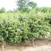 """供应树型金银花""""金花3号""""优良品种种苗"""