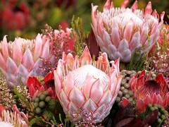云南新奇特品种鲜花受市场青睐(图)