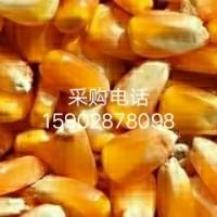 四川长期采购大米碎米玉米高粱,木薯淀粉