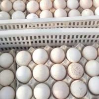火鸡蛋销售