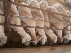 济南商河不断发展壮大养羊产业(图)