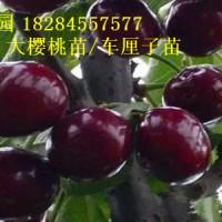 全国出售1到5公分大樱桃树苗