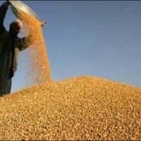 玉米价格行情;汉江大量收购玉米;在线咨询