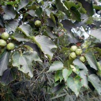 供应广西千年桐种子种苗基地 油桐苗