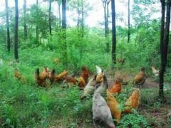 冀爱华:循环种养 鸡肥果香(图)