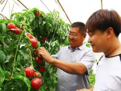 """新疆托克逊县抢""""鲜""""上市的大棚油桃为村民增收(图)"""