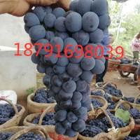 陕西夏黑葡萄批发夏黑葡萄基地价格