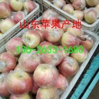 山東蘋果基地美八紅露蘋果產地批發