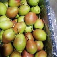 大荔縣紅香酥梨產地價格2019年酥梨基地價格