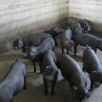 纯种太湖猪厂家-物超所值的太湖猪就在临朐县元杰生猪养殖