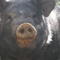鐵嶺價格實惠的黑豬哪家有,松原黑豬多少錢