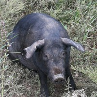 散养黑猪哪家好_辽宁哪里供应的散养黑猪价格优惠