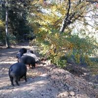 散養黑豬價格|來鐵嶺憶農源牧業,買搶手的散養黑豬