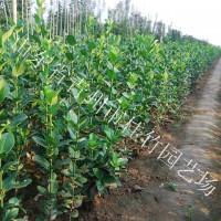 河南北海道黄杨-想买品种好的北海道黄杨上哪
