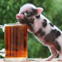 山东藏香猪-潍坊超值的黑猪苗哪有卖