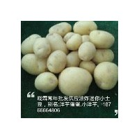 采購口碑好的迷你小土豆就找曉霖 江津哪里有迷你小土豆批發