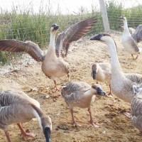 大雁苗供应|蚌埠名声好的大雁养殖场供应商推荐