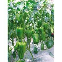 太空九號甜椒種子廠家_哪里能買到太空九號甜椒種子
