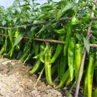 高产尖椒种子公司-哪里购买尖椒种子